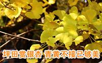坪田赏银杏 青黄不接已够美